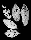 Leaves eaten by pests — Stock Photo