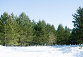 Winter green forest — Stock Photo