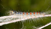 Caterpillar on twig closeup — Stock fotografie