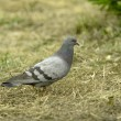 Wild pigeon walking — Stock Photo #70956117