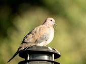 Close-up of spotted dove — Stock Photo