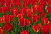 Renkli Lale alan — Stok fotoğraf