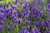 Gardens with the flourishing lavender — Stock Photo