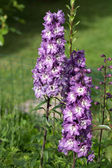 Purple Delphinium Flower in Garden — Foto de Stock