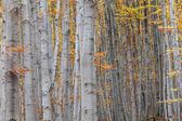 Srebro Buk drzewo z suchych liści — Zdjęcie stockowe