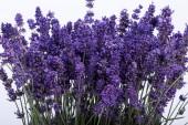 Flourishing lavender — Stock Photo