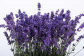 The flourishing lavender — Stock Photo