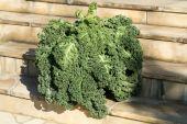 A healthy fresh curly kale — Foto de Stock