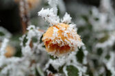 The winter impression - the hoary yellow rose in the garden — Stock Photo