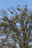 Autumn tree with european mistletoe — Stock Photo