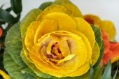 Ornamental kale with yellow, orange, and green leaves — Stockfoto