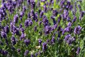 Gardens with the flourishing lavender — Stock Photo
