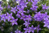 Beautiful vivid purple spring flower bush Dalmatian bellflower — Stock Photo