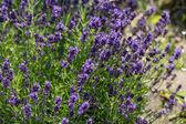 Garden with the flourishing lavender — Stock Photo