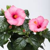 Pink hibiscus flower isolated on white background — Stock Photo