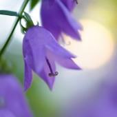 Beautiful Violet Campanula Flowers — Fotografia Stock
