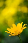 Bright Yellow Daisy Flower — Stockfoto