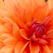 Close-up Image of Beautiful Orange Chrysanthemum — Stock Photo