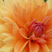Close-up Image of Beautiful Orange Chrysanthemum — Φωτογραφία Αρχείου