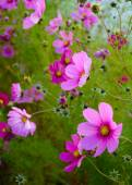 Bright Beautiful Pink Flowers on the Green Blurred Background — 图库照片