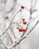Red Rowan Berries Covered With Fresh Snow — Stock Photo