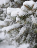 Fir-tree Branch Covered with Snow. Christmas Background — Stockfoto