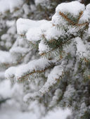 Fir-tree Branch Covered with Snow. Christmas Background — ストック写真