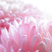 Close Up Image of the Beautiful Pink Chrysanthemum Flower — Stock Photo
