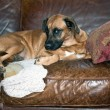 Dog Chews Hole in Leather Sofa — Stock Photo #60799887