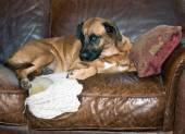 Dog Chews Hole in Leather Sofa — Stock Photo