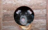 Little fancy mouse in a little wooden house  — Stock Photo