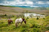 Paarden in toscane — Stockfoto