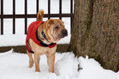 Sharpei dog in snow — Stock Photo