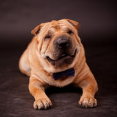 Sharpei dog in studio — Stock Photo