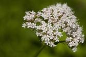 Valeriana officinalis — Stock Photo