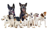 Group of jack russel terrier and malinois — Stock Photo