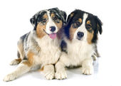 Australian shepherds — Stock Photo