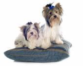 Biewer yorkshire terrier — Stock Photo