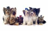 Group of  yorkshire terrier — Stock Photo