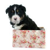 Puppy australian shepherd — Stock Photo