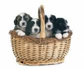 Puppies tibetan terrier — Zdjęcie stockowe