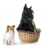 Scottish terrier y chihuahua — Foto de Stock