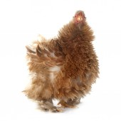 Pekin bantam — Stock Photo