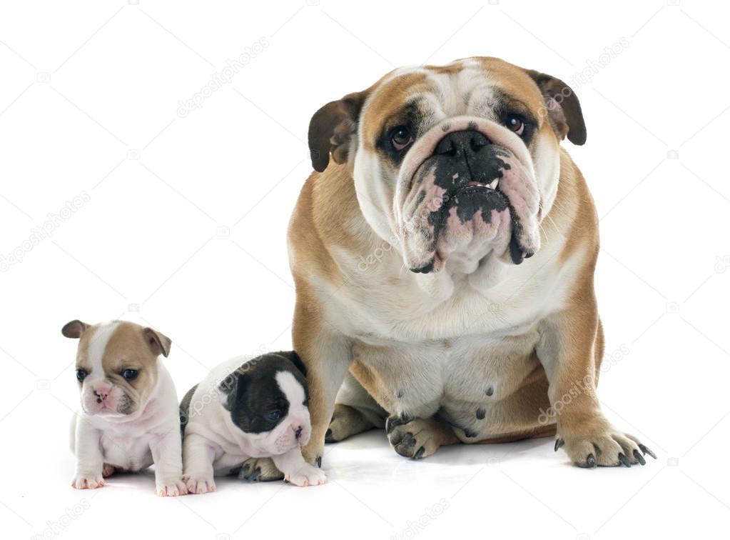 Bulldog francés cachorro e inglés — Fotos de Stock © cynoclub ...
