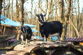 Nanny goat and sawhorse — Stock Photo