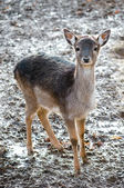 Roe deer in nature — Stock Photo