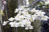 Beautiful white orchid - phalaenopsis — Stock Photo