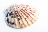 Concha do mar marinho num cenário studio contra um fundo branco — Fotografia Stock