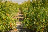 Pomegranate plantation — Stock Photo