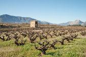 Vineyard in winter — Stock Photo